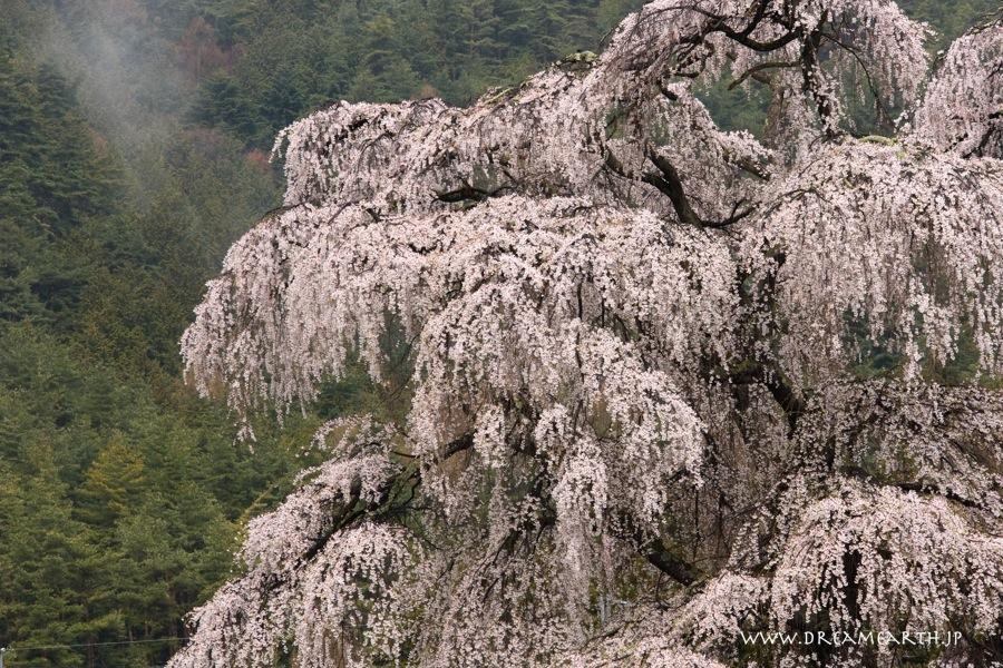 北小倉のしだれ桜