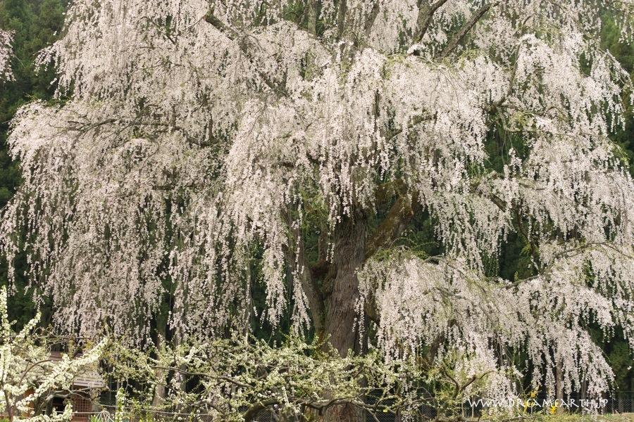 水中のしだれ桜