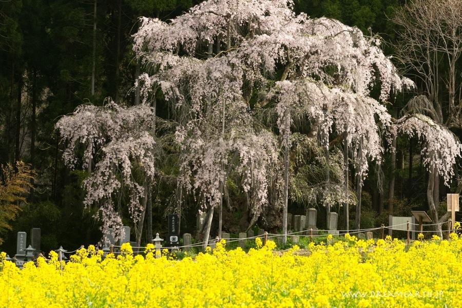 坪井のしだれ桜