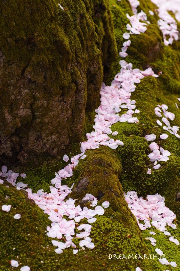 耕三寺の桜