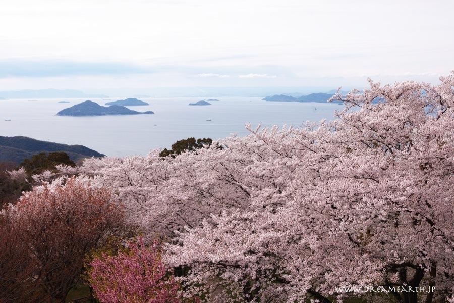 紫雲出山山頂園地の桜