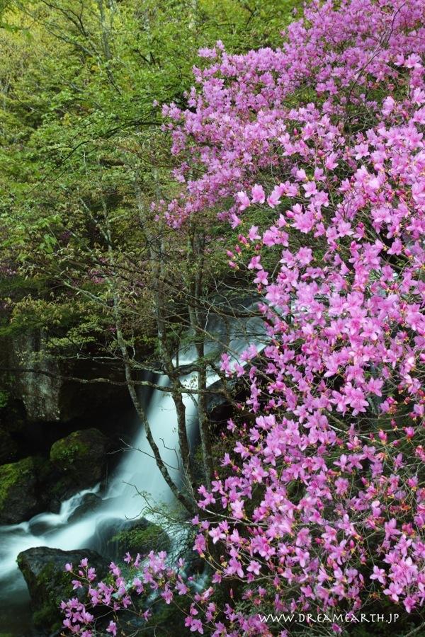 ツツジ咲く竜頭の滝