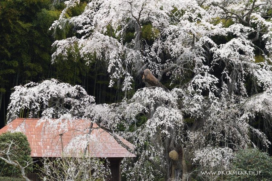雪村庵の桜