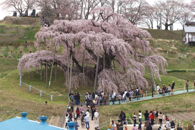 三春滝桜 とは言いながらも、それなりに人はたくさん来ているわけで。 人を入れずに... 三春滝桜
