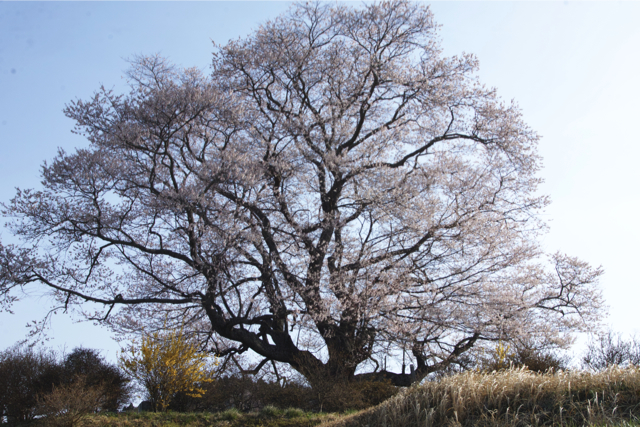 七草木天神桜