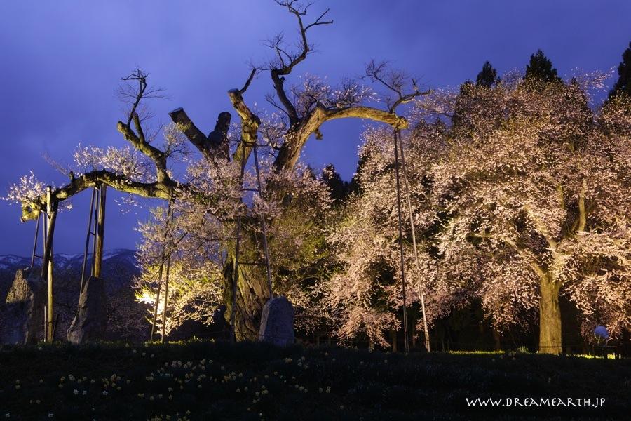 釜の越桜 ライトアップ