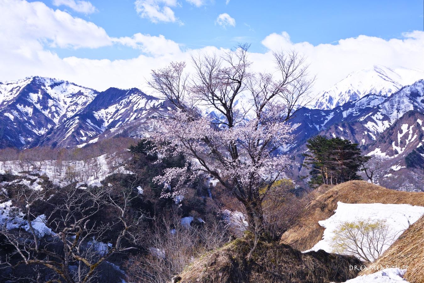 樽口峠の桜