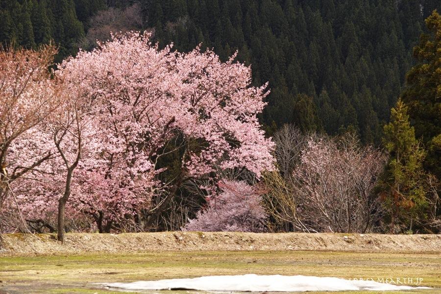 旧小玉川小中学校の桜