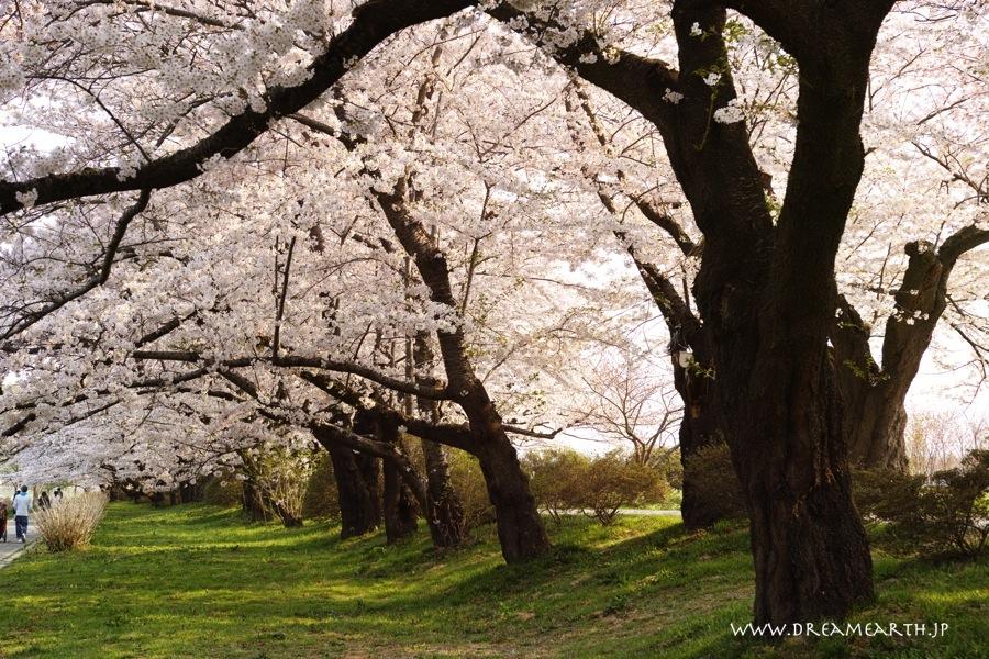 北上展勝地の桜