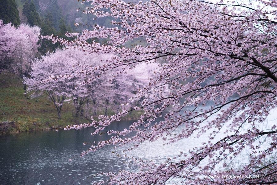 中綱湖の桜