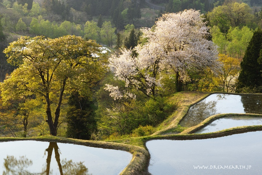 儀明の棚田の桜