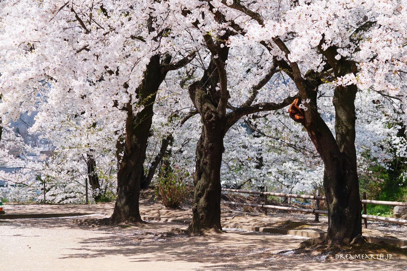 飯山城址公園の桜