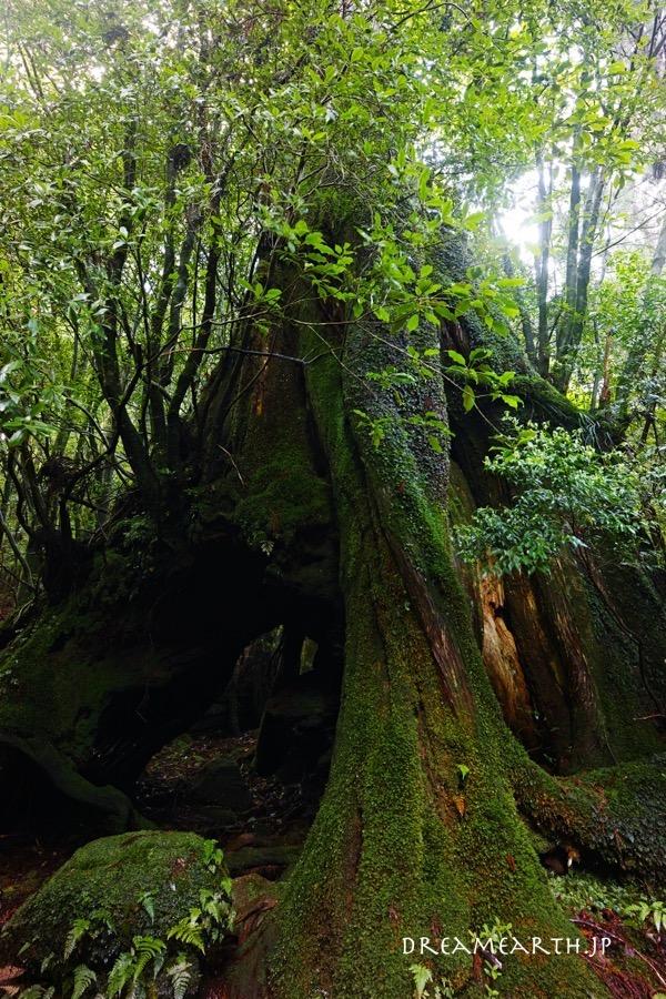 屋久島 三代杉